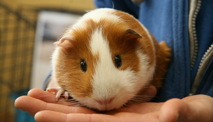 073-make-cuddly-guinea-pig-your-pet
