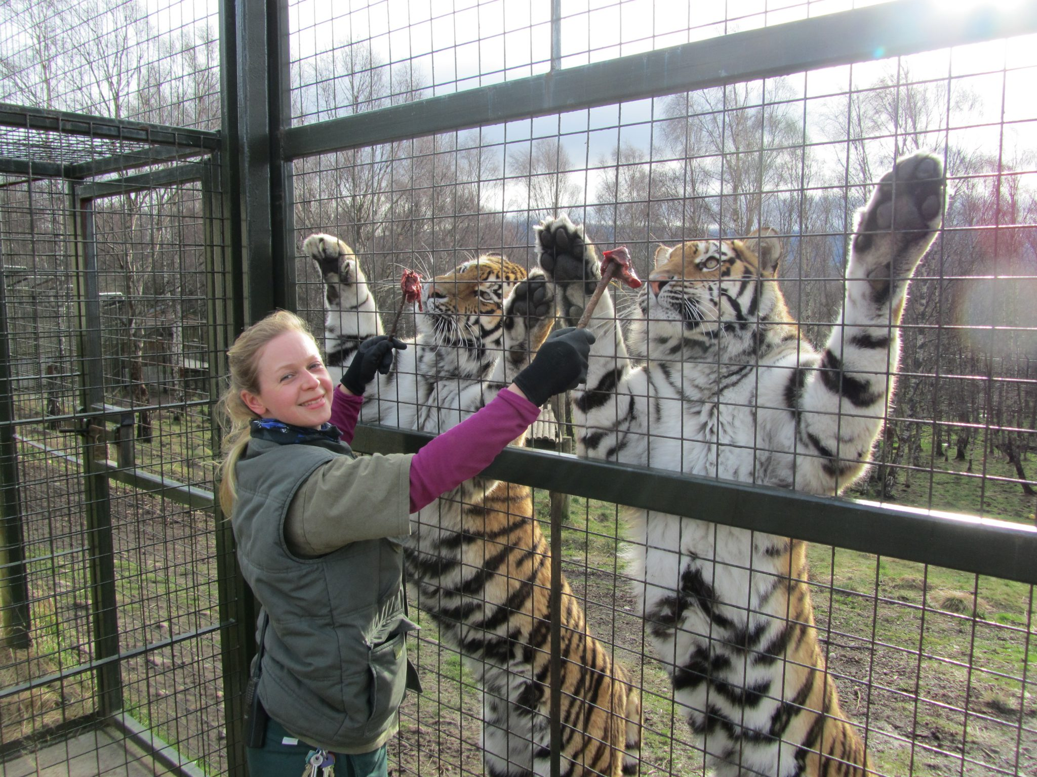 Dominica and Natalia Amur tigers HWP