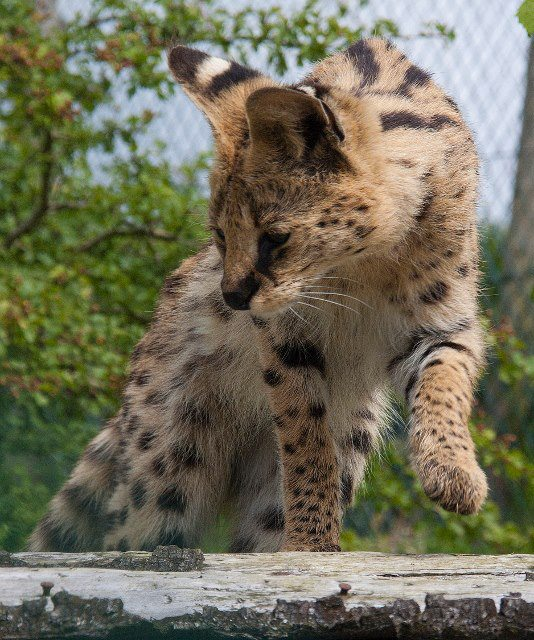 super serval
