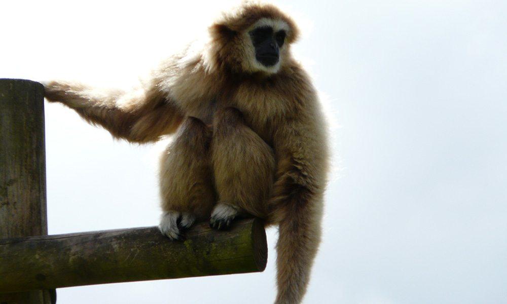 Gibbon Gallery 2