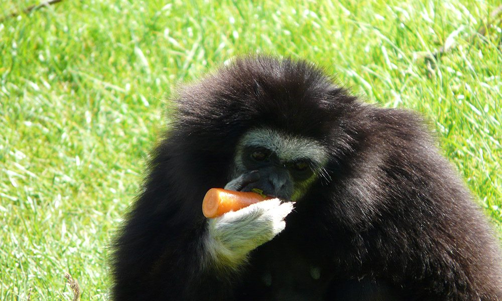 Gibbon Gallery 6