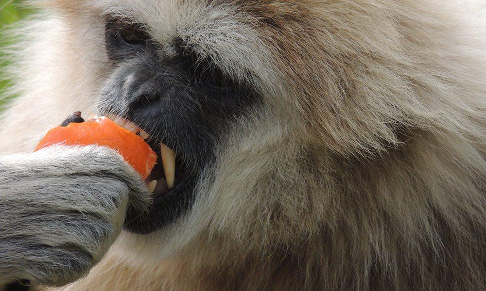 Gibbon Gallery
