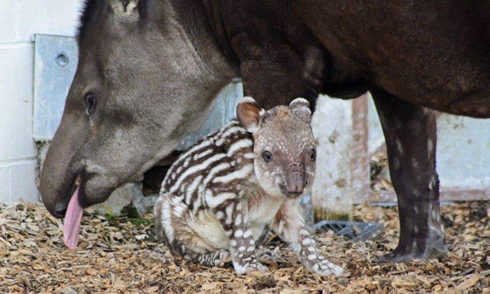 Tapir Babies