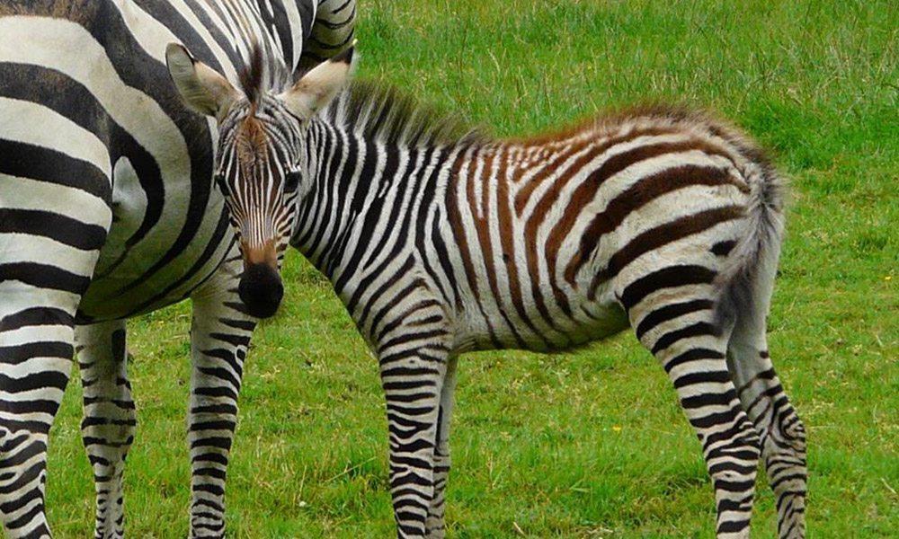 Zebra Babies