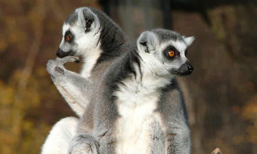 lemurs_1