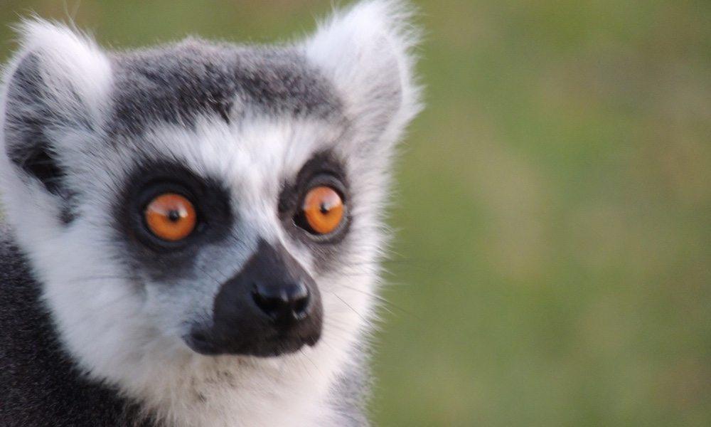 lemurs_2