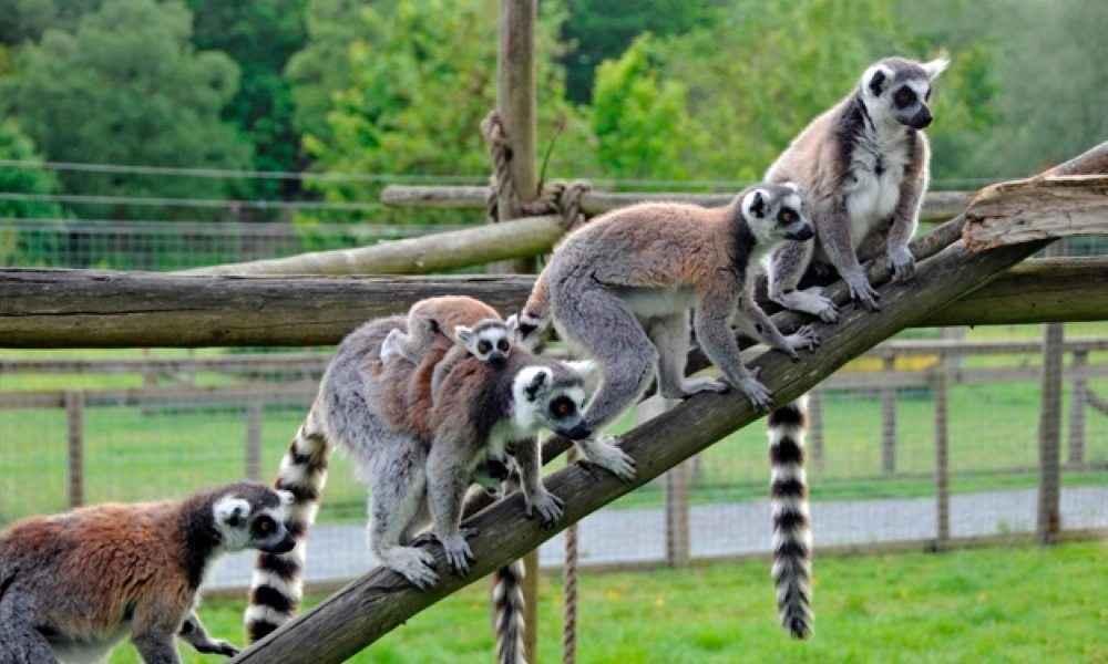lemurs_5