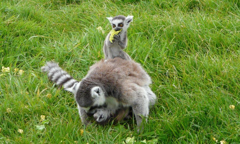 lemurs_8