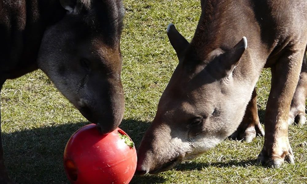 tapir_2