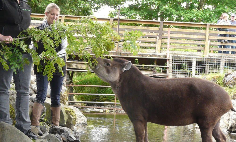 tapir_4