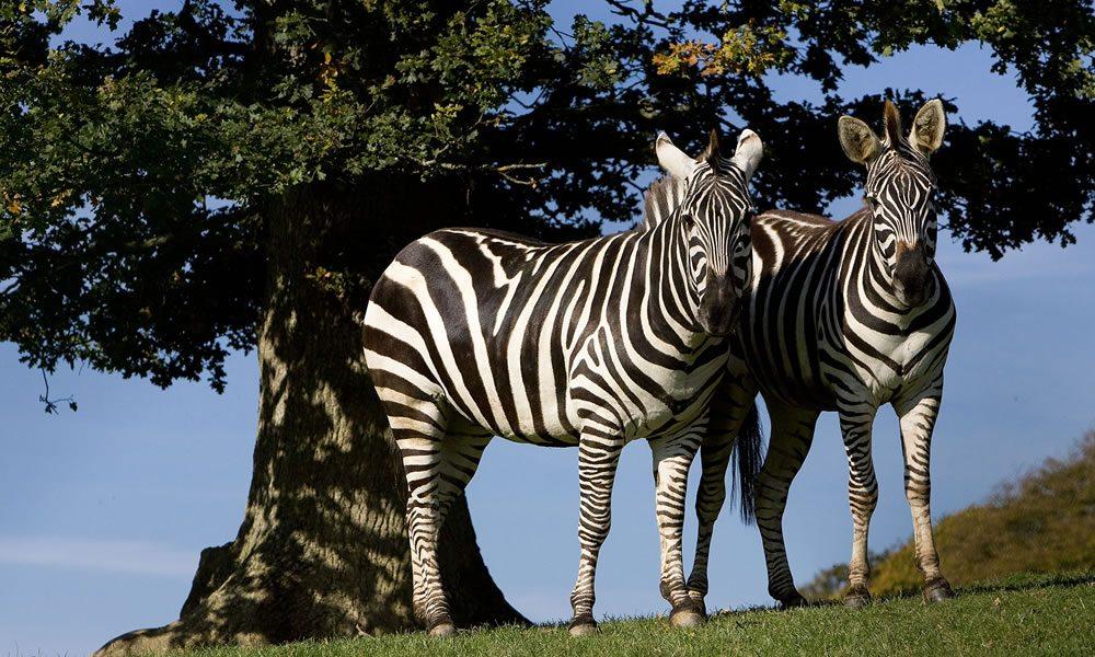 zebra_3