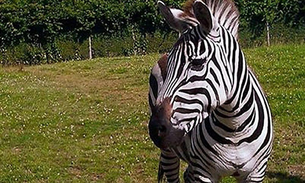 zebra_4