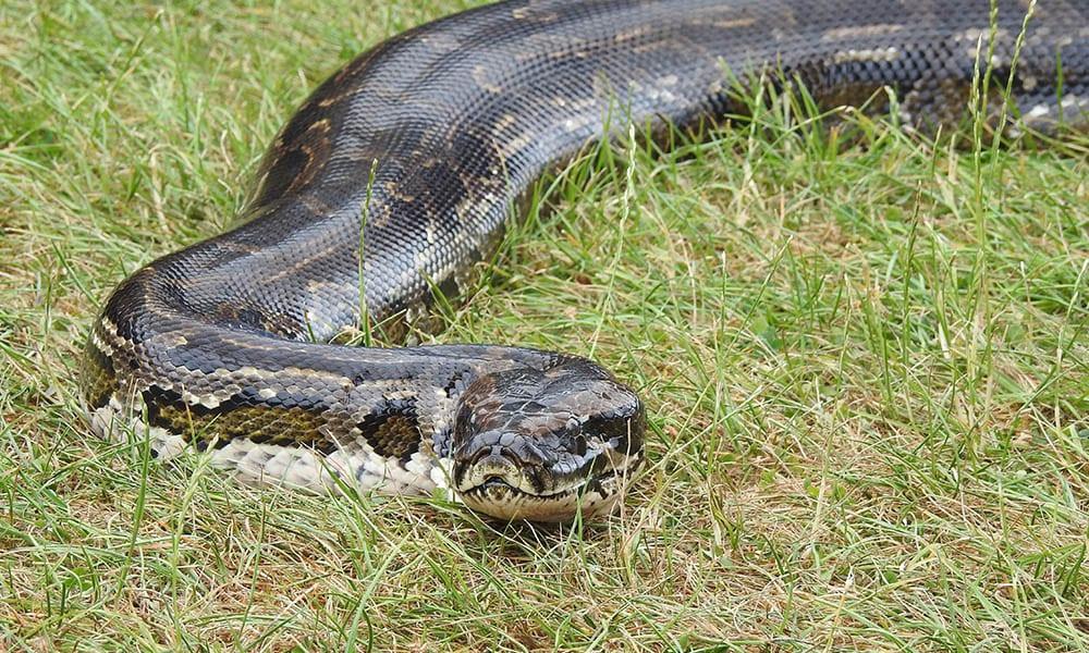 Burmese Python 3