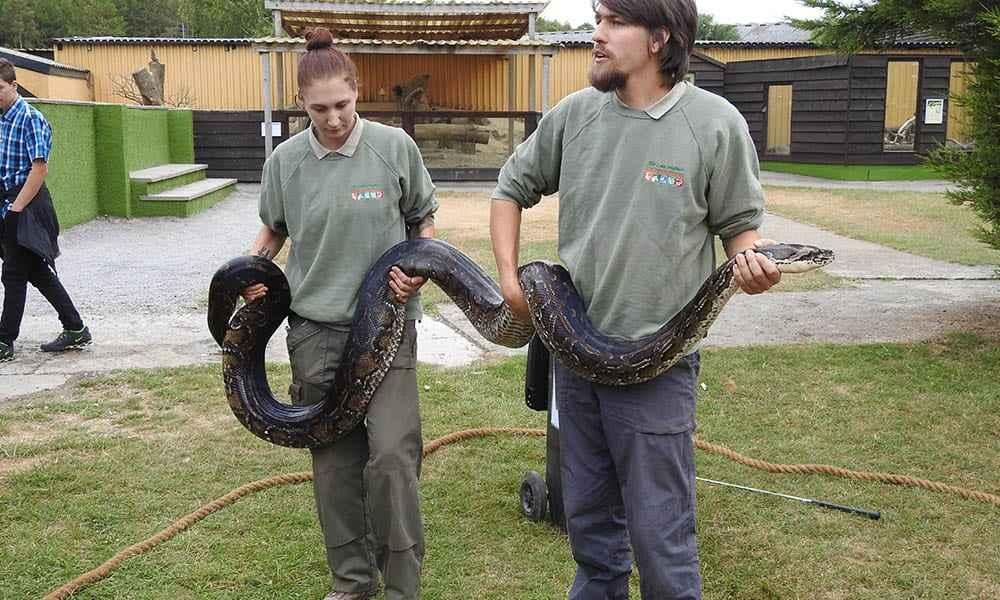 Burmese Python 4
