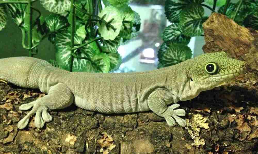 Gecko 1000x600