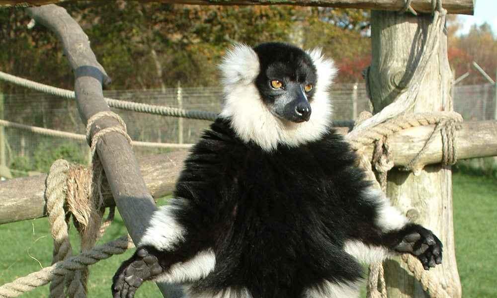 Ruffed Lemur Gallery 2