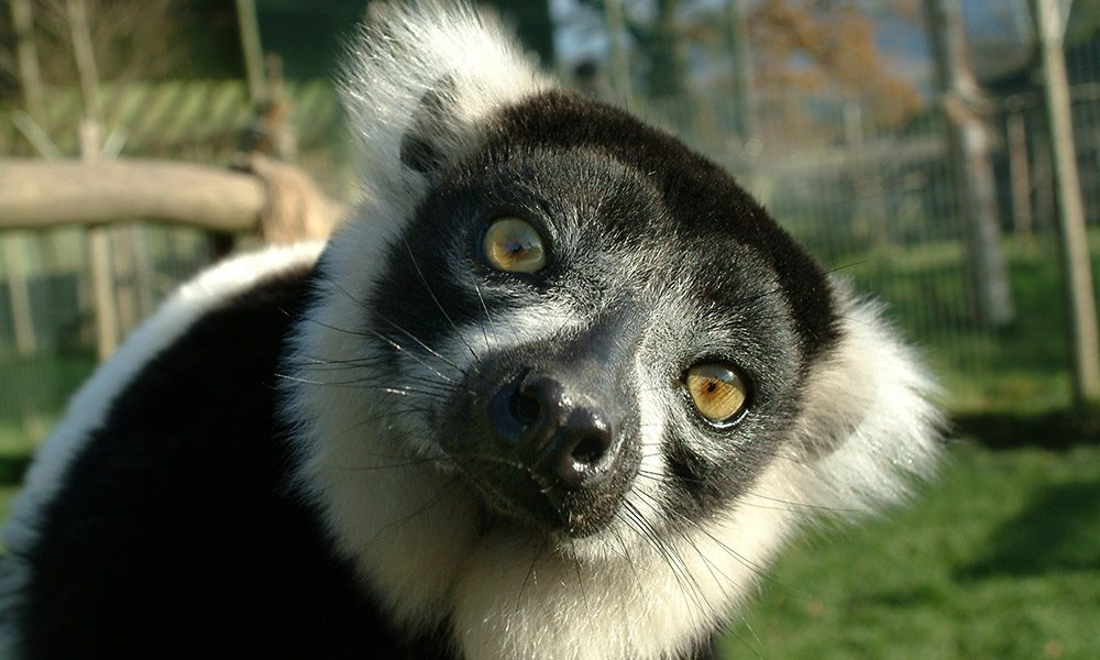 Ruffed Lemur Gallery 3