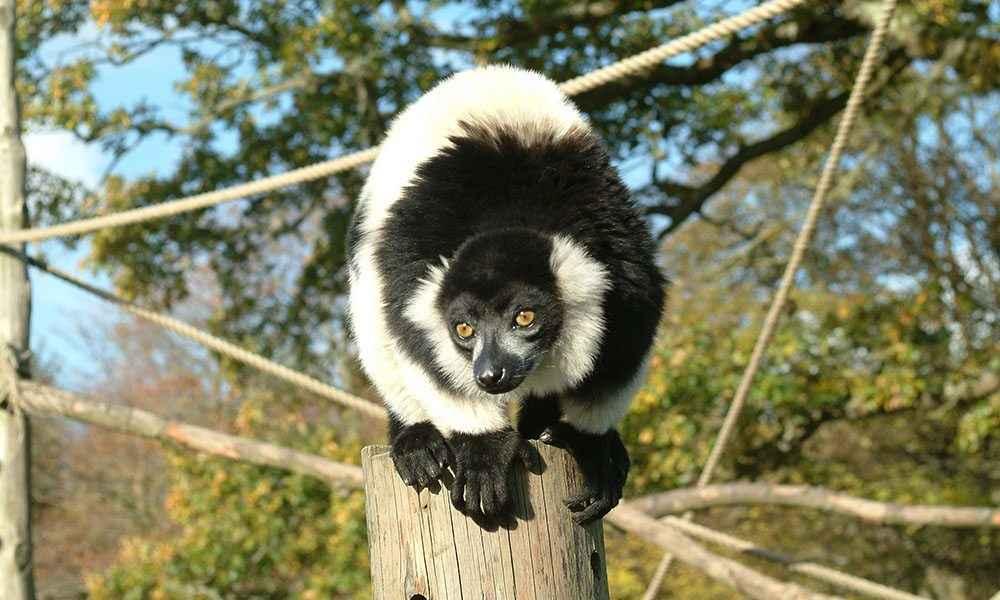 Ruffed Lemur Gallery