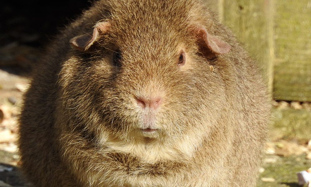 guinea pigs V2