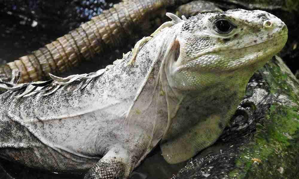 iguana 1000x600