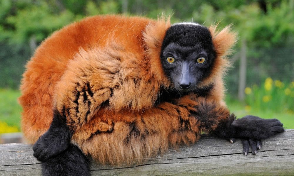 red_lemur_1