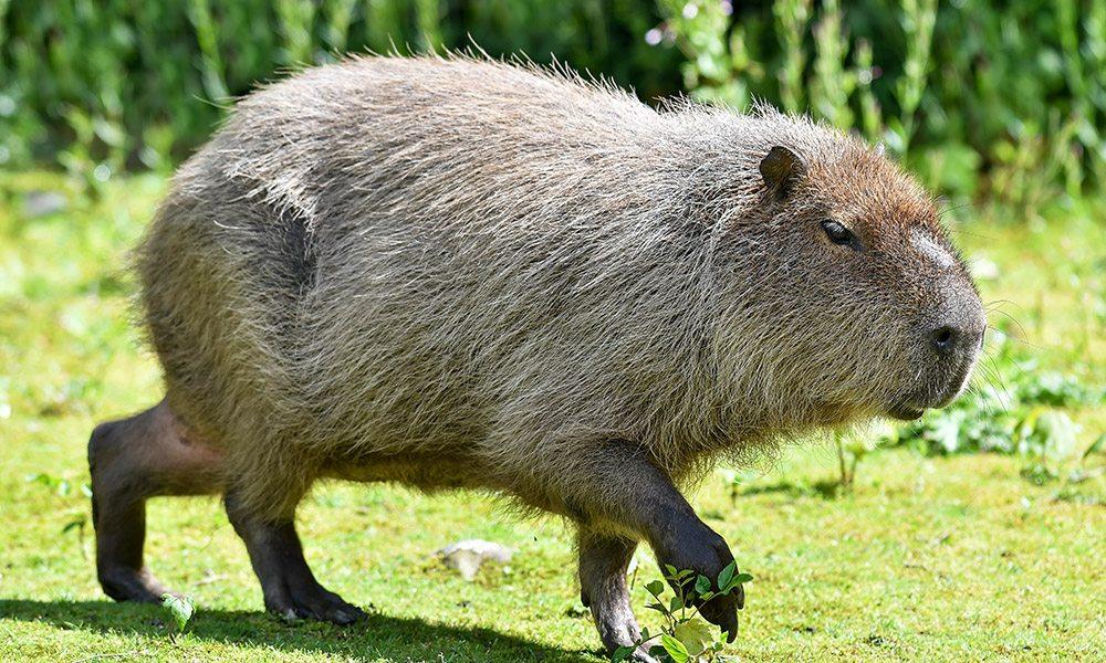 Capybara 1000x600