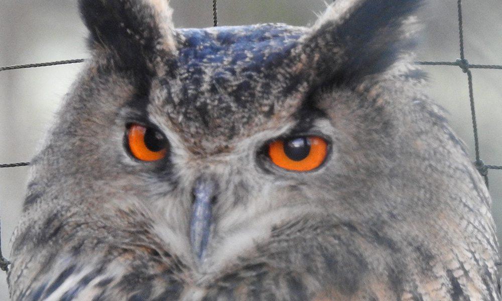 Eagle Owl v2