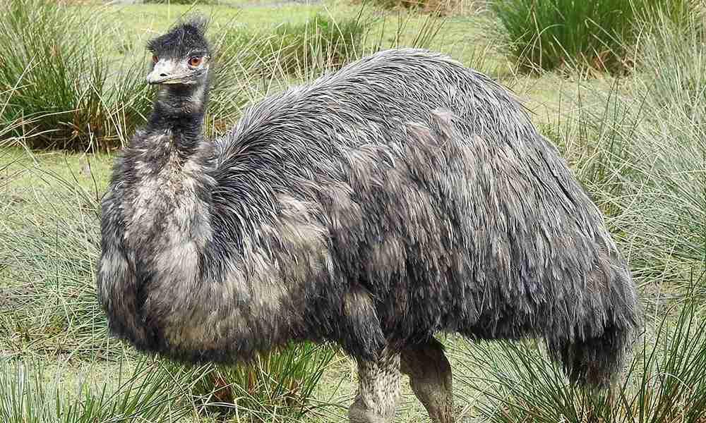 Emu 1000x600