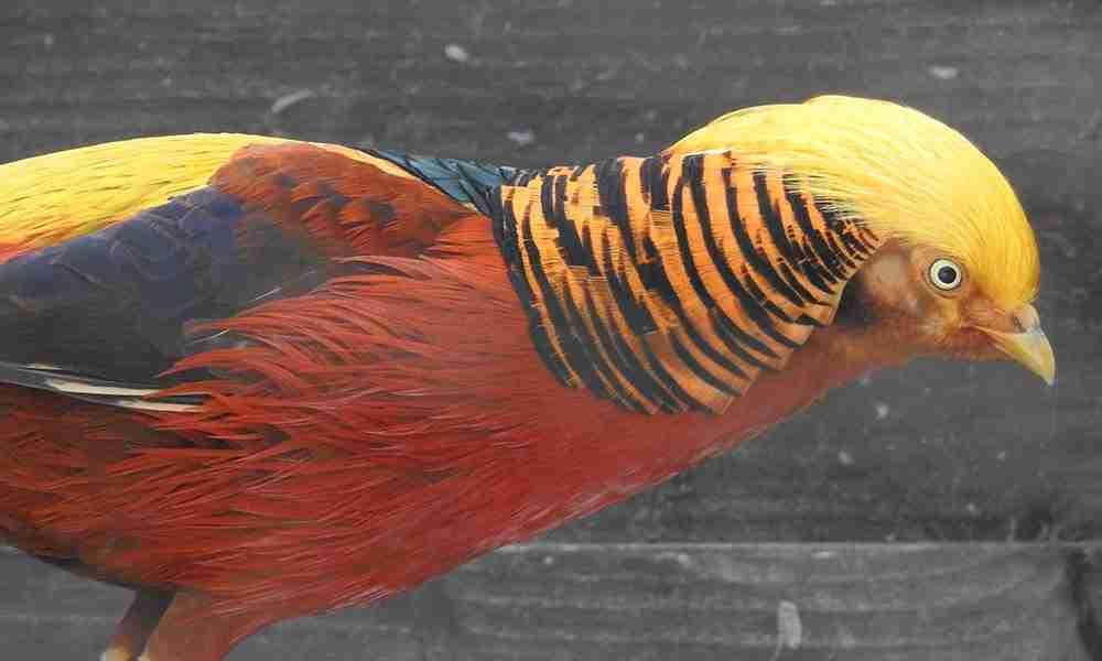 Golden Pheasant 1000x600