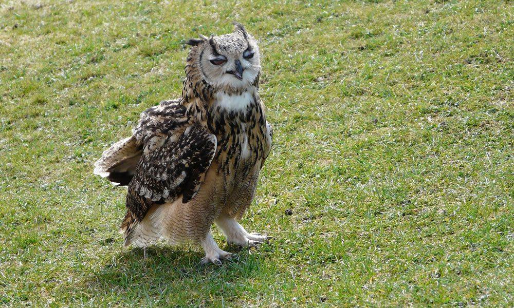 bengal_owl1