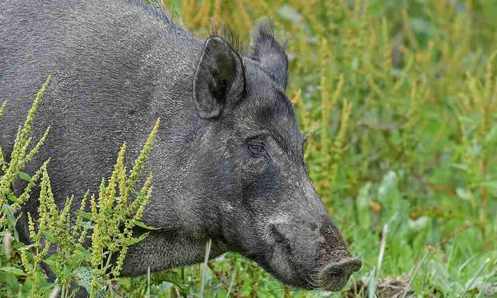 boar 1000x600