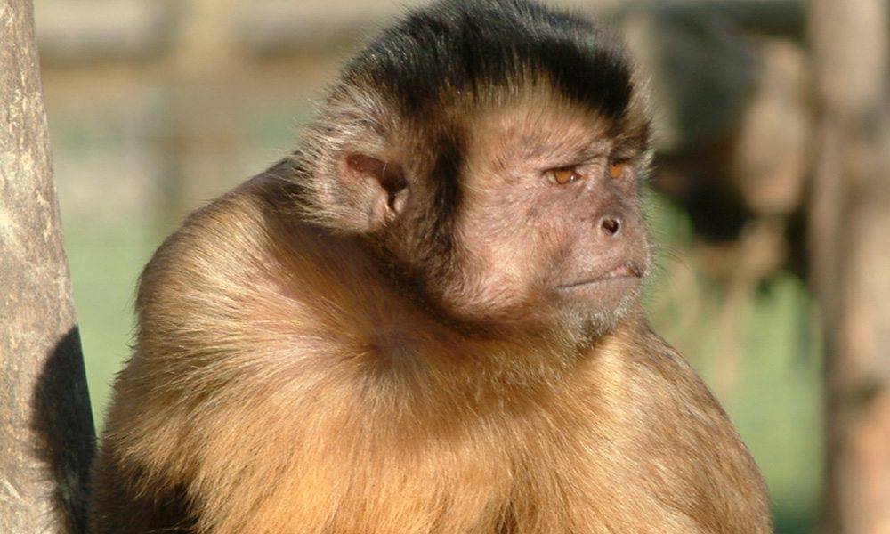 brown capuchin 1000x600