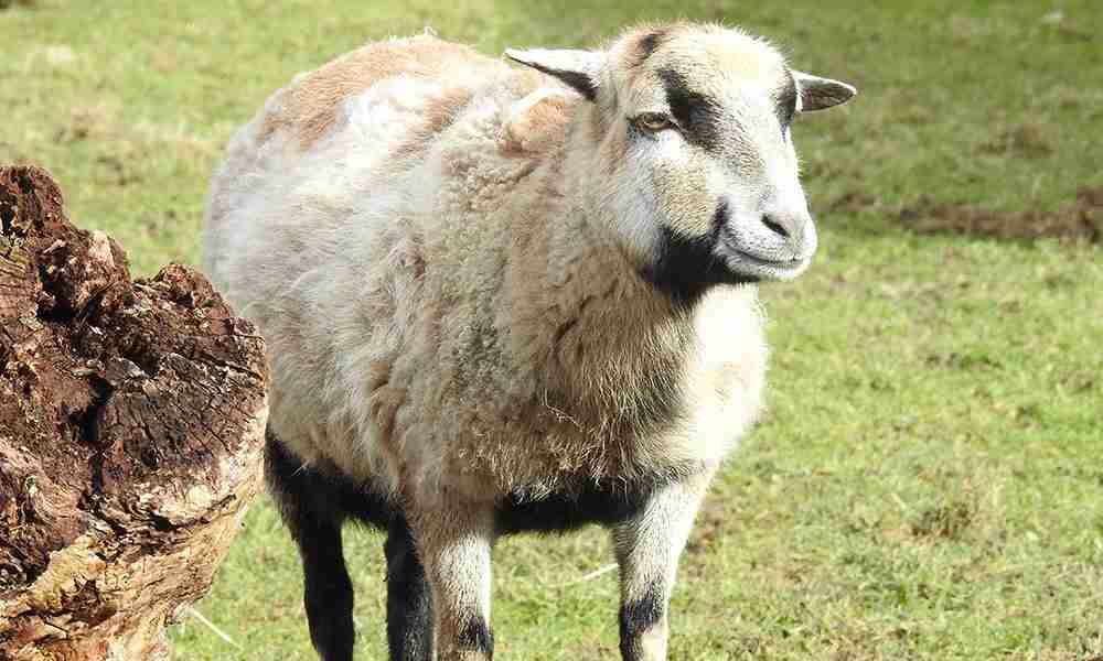 cameroon sheep 1000x600