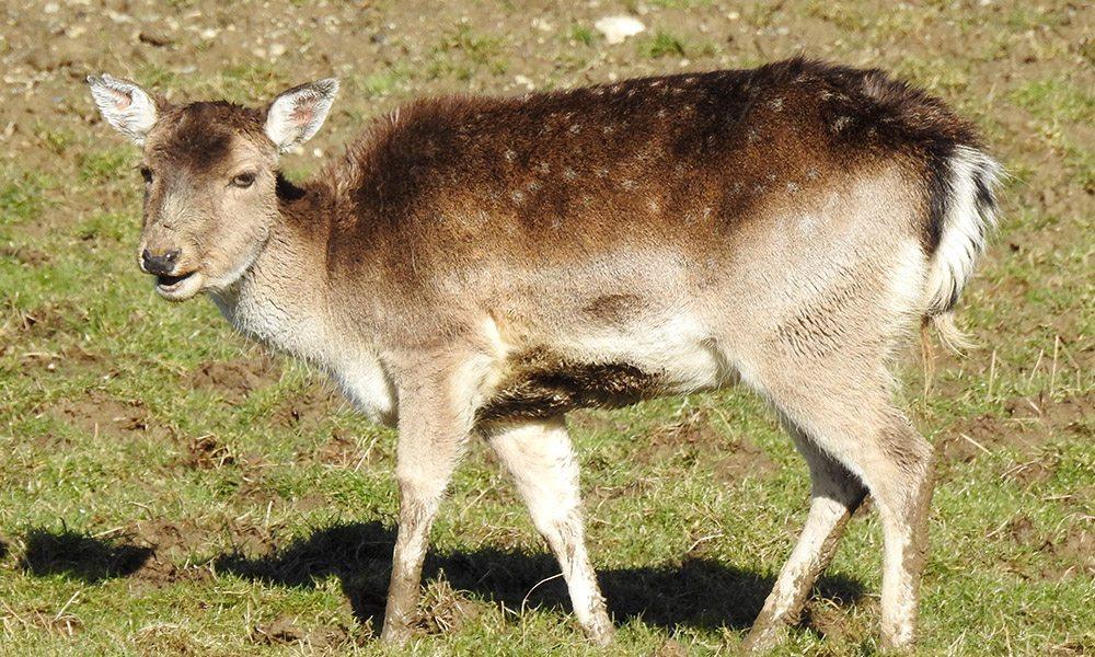 fallow deer 1000x600
