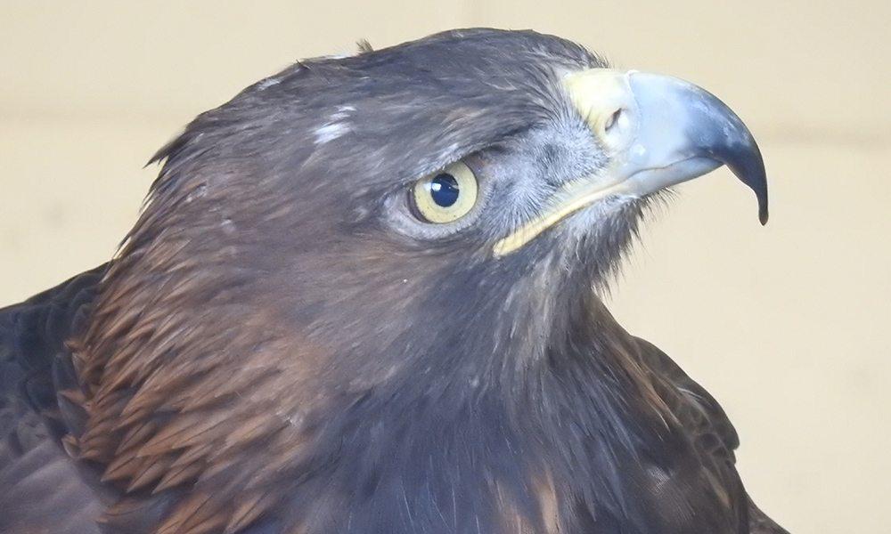 golden eagle 1000x600