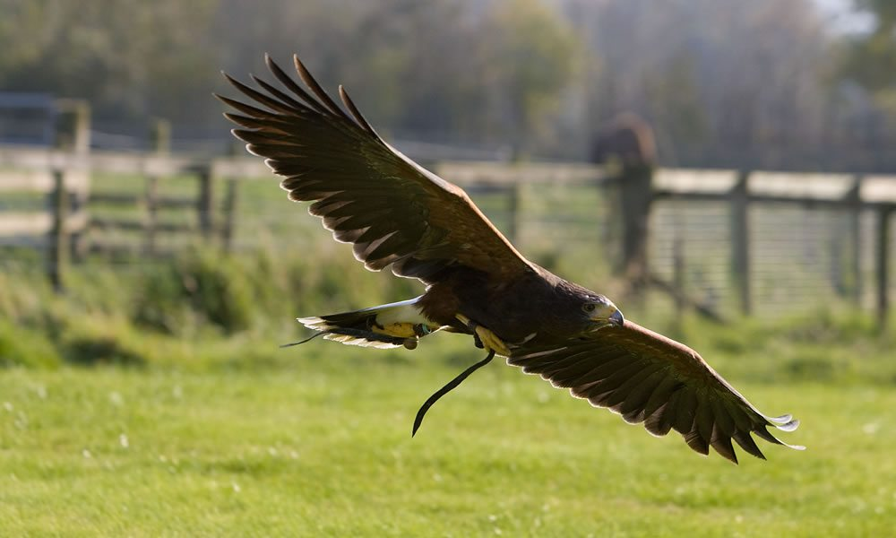 golden_eagle1