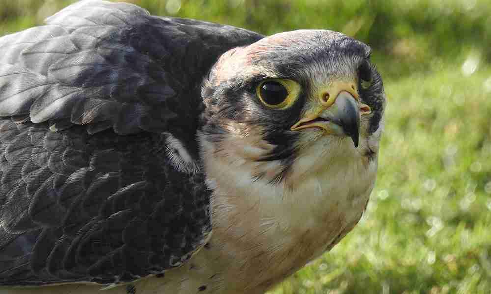 lanar falcon 1000x600