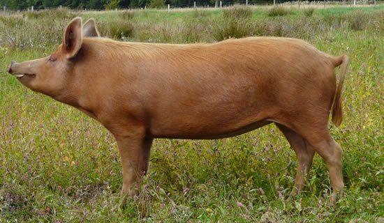 Tamworth pig - Lake District Wildlife Park