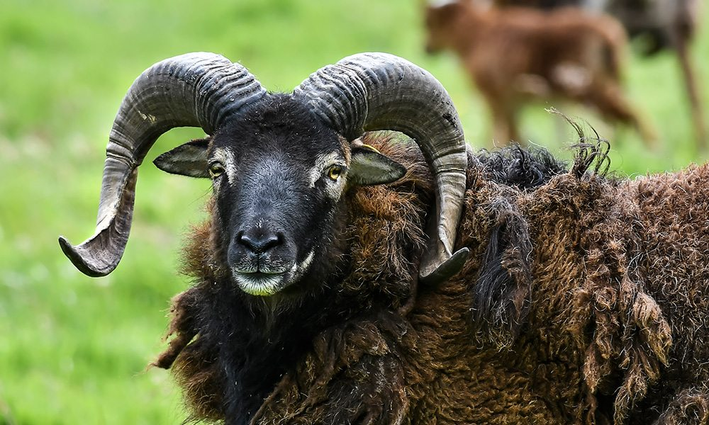 soay sheep 1000x600