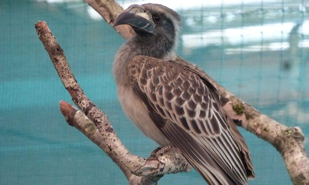 African Grey Hornbill v2