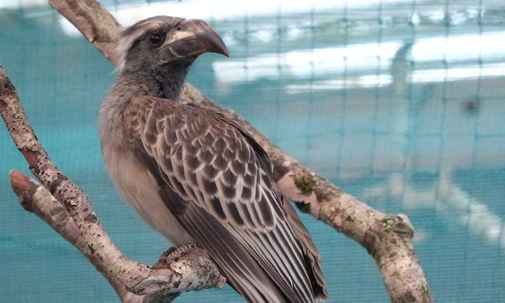 African Grey Hornbill v3