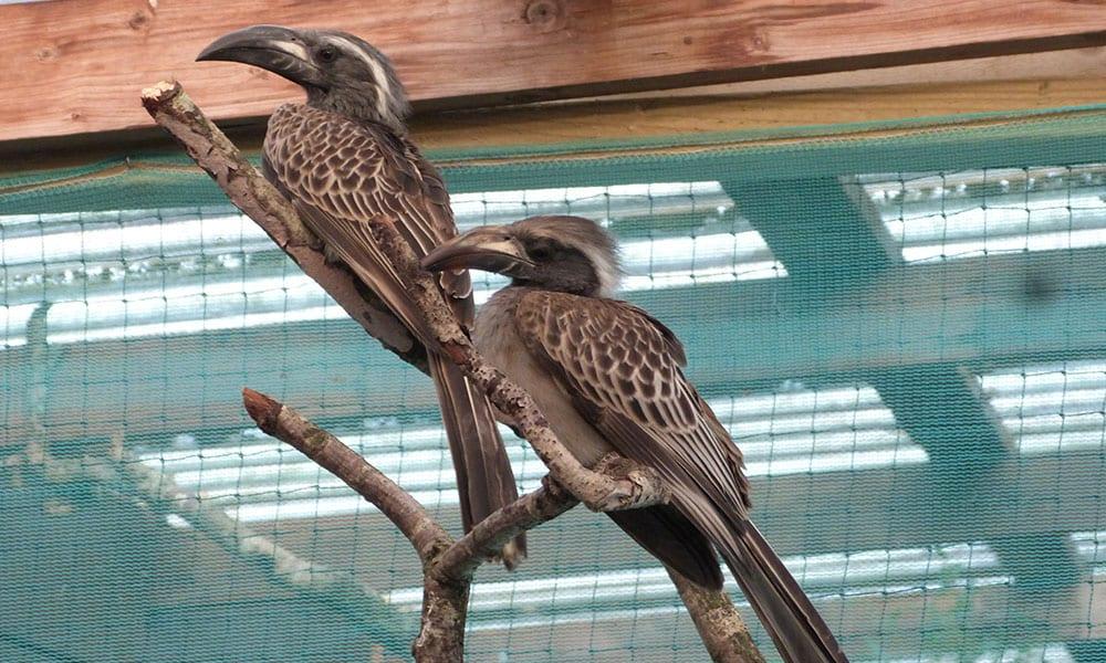 African Grey Hornbill v4