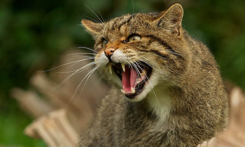 Scottish Wildcat Gallery 2