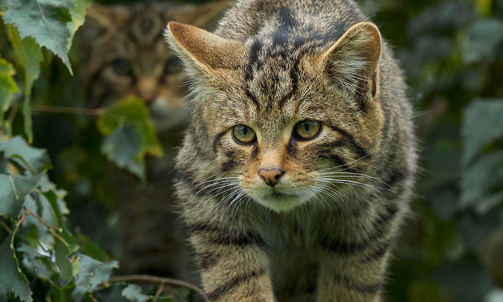 Scottish Wildcat Gallery 3