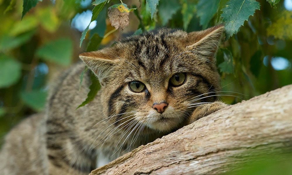 Scottish Wildcat Gallery