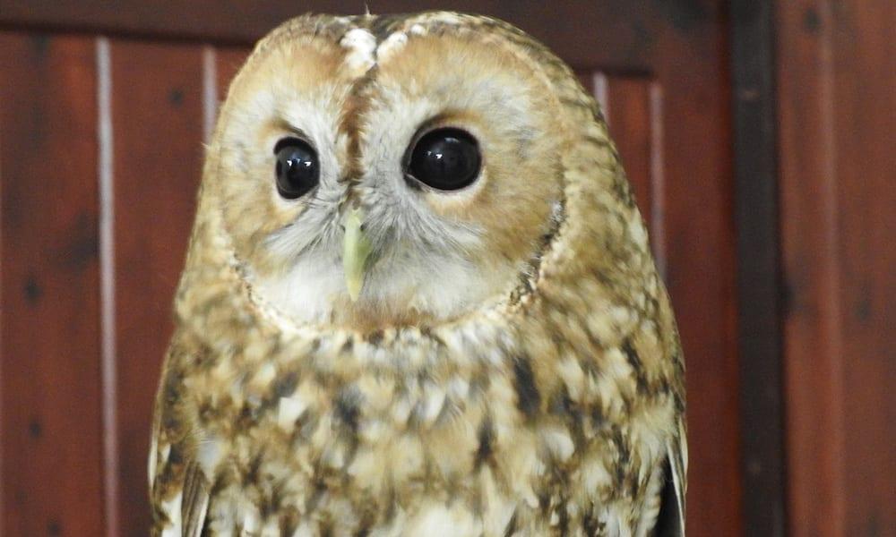 Twany Owl Gallery 2