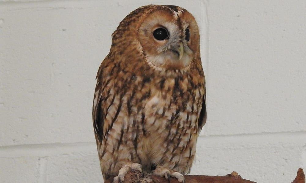 Twany Owl Gallery