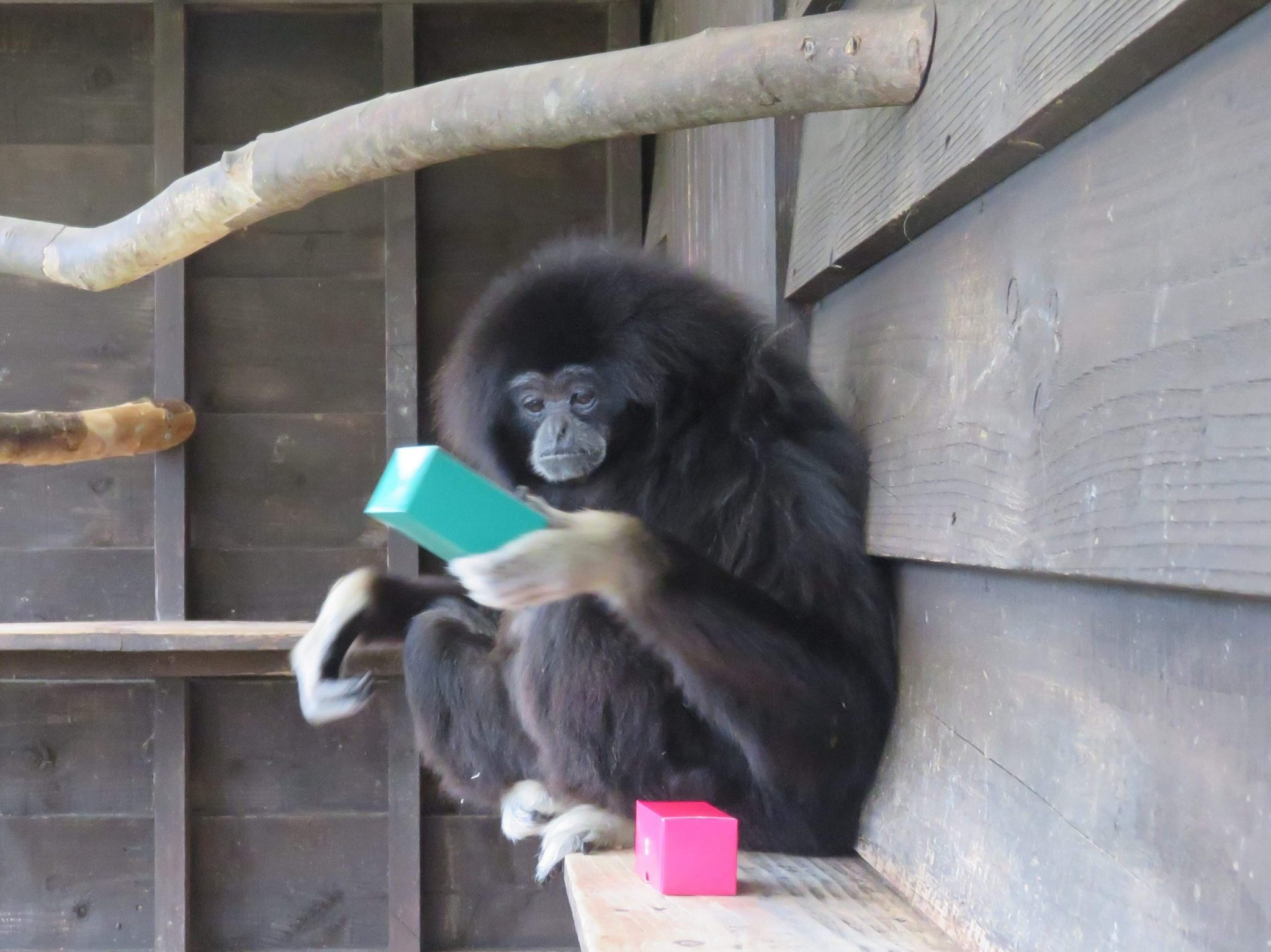 Clever Gibbon